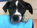 35325920 3m M Boxer Terrier x