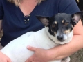 Foxy 1.5yr F Rat Terrier hw treated 1