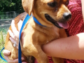 1-2 yr M Chi_Doxie 12 lbs  28622810 #2.png