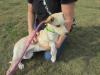 lab pup 6 months