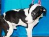 24208997 6mo Lab.Terrier x 20 lbs