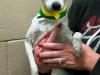 24453411 5yr F Rat  Terrier 10lbx