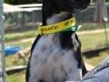 35310531 2yr F Terrier x