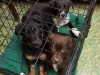 3 Henry Puppies