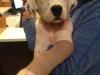 elbow pup