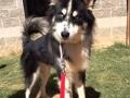 Jasper 2yr M Husky x 33563435